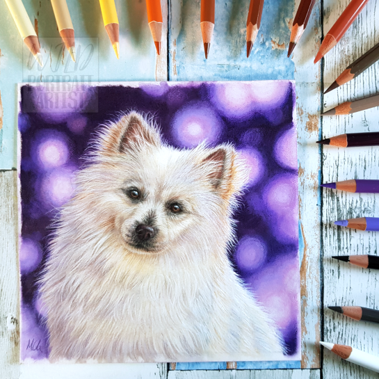 a coloured pencil drawing of a german spitz dog with a purple bokeh background pet portrait commission