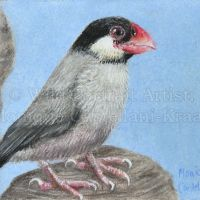 """""""Java Sparrow"""" 3.5 x 2.5 inch collectable artist trading card. Coloured pencils on Fabriano Artistico Hot Pressed 140lb watercolour paper. Art by Wild Portrait Artist. SOLD."""