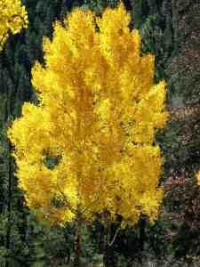 Golden Fall Aspen