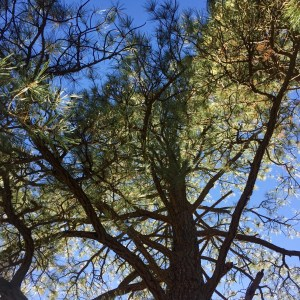 sunlight in resilient pine tree
