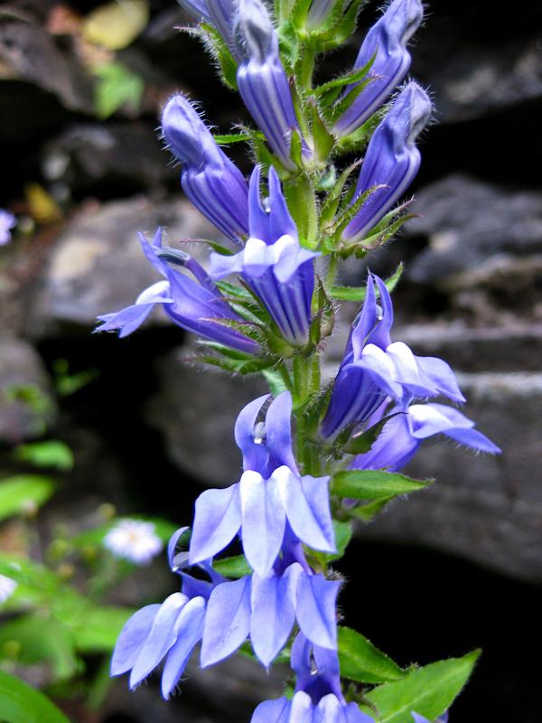 Lobelia siphilitica Great Blue Lobelia Wild Ridge Plants
