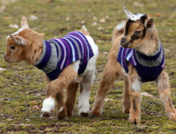 These are actually Nigerian Dwarf goats...