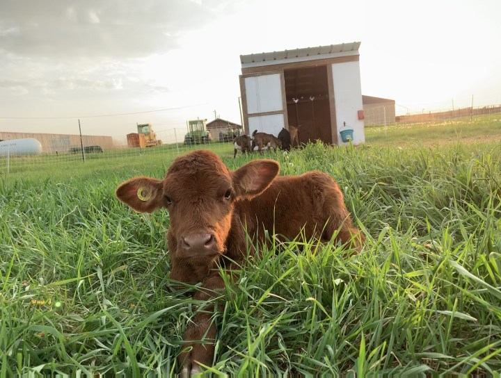 Belle's Story: The Loss of My Heifer Calf