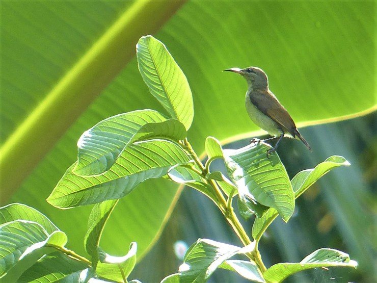A female Purple-throated sunbird (Leptocoma sperata).