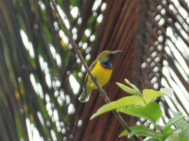 - Siargao Island (Olive-backed Sunbird) birds of siargao