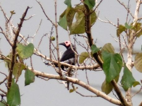The Coleto (Sarcops calvus) on Siargao island