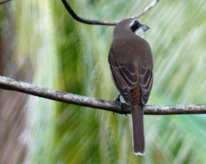 The brown shrike (Lanius cristatus) - Siargao Island ( ) birds of siargao