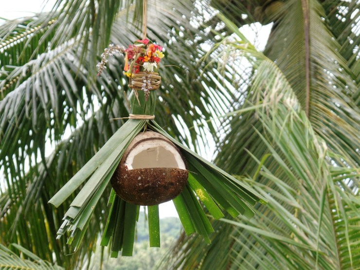 coconut bird feeders attract birds to beach resorts, cottages, gardens or homes in siargao island, san isidro rain hat version