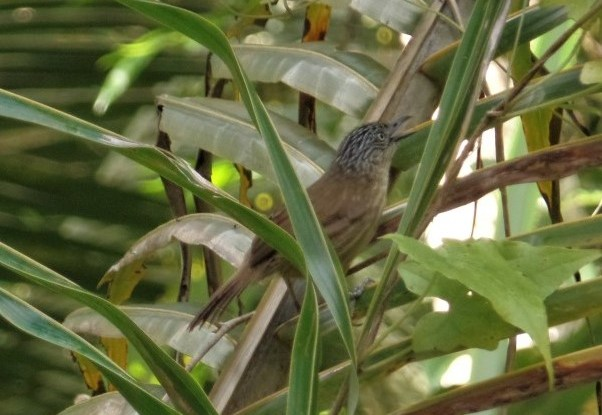 The brown tit-babbler (Macronus striaticeps)