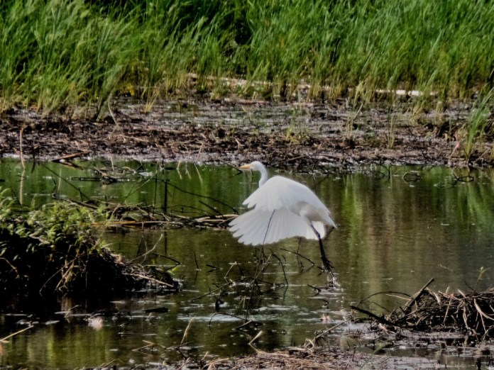 The intermediate egret (Ardea intermedia) - Siargao Island ( ) birds of siargao