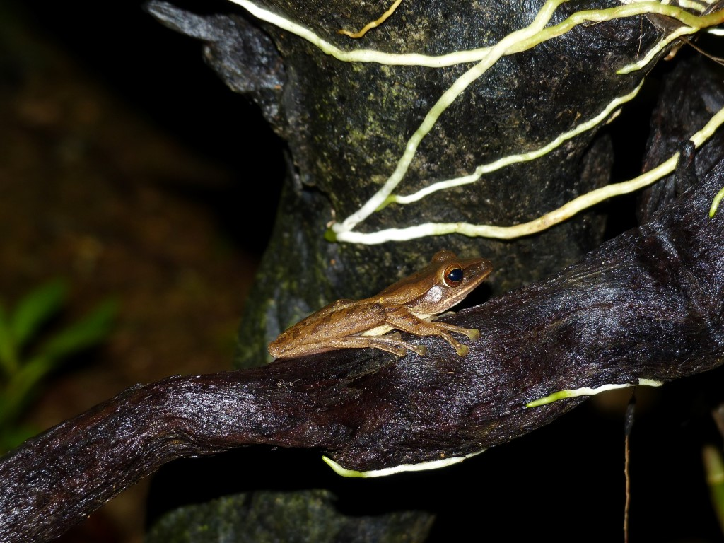 Asian golden tree frog facts images 255