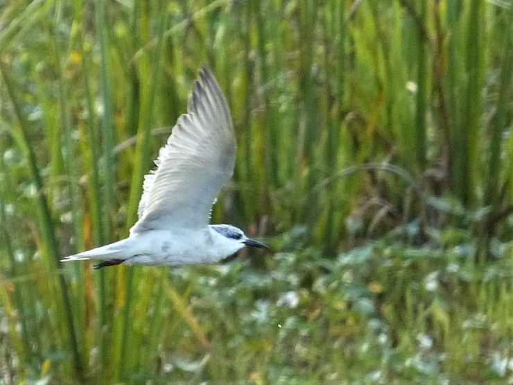 whiskered tern on siargao island