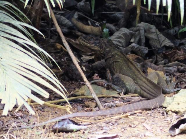 A Hydrosaurus Sailfin Lizard on Siargao Island in the Philippines.