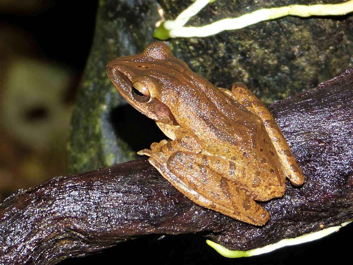 Golden Tree Frog (Polypedates leucomystax)
