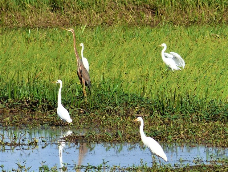 A purple heron amongst the egrets.