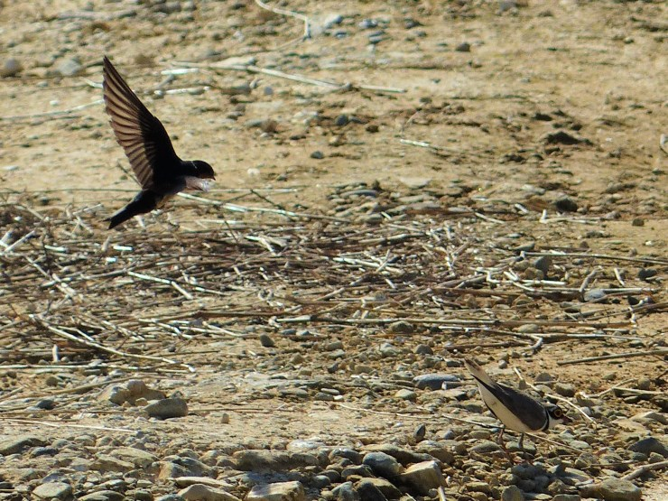 Little ringed plover and a swallow