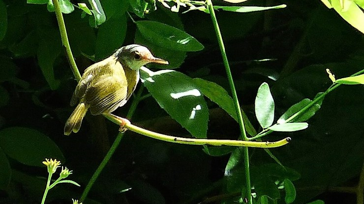 The Rufous-fronted tailorbird (orthotomus frontalis) on Siargao Island.