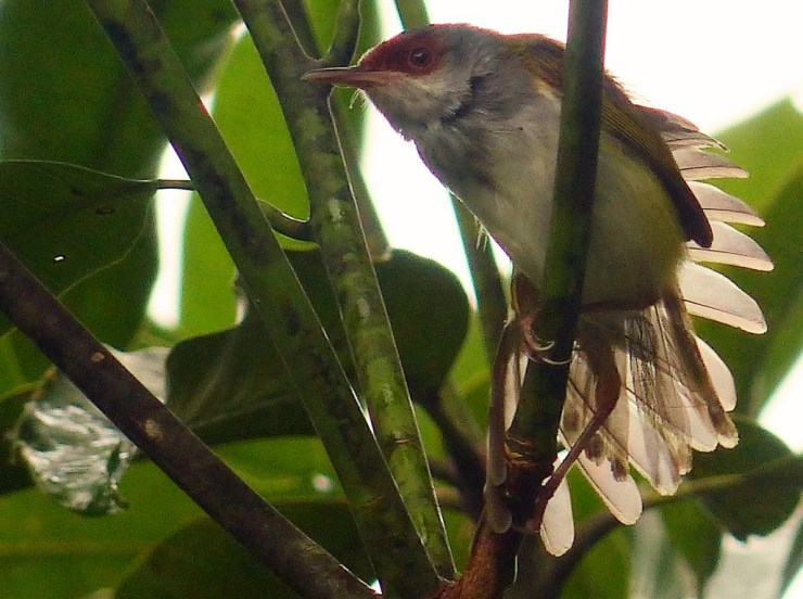 Rufous-fronted Tailorbird (Orthotomus frontalis) on Siargao island