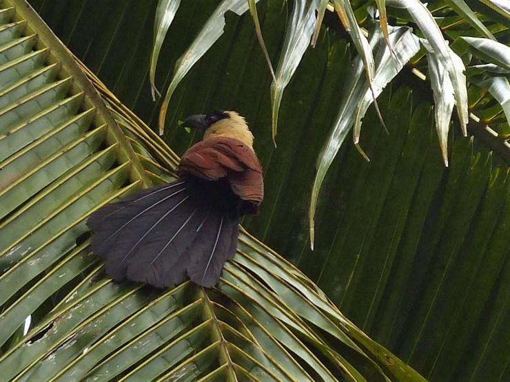 The Black-faced Coucal (Centropus melanops) on Siargao island.