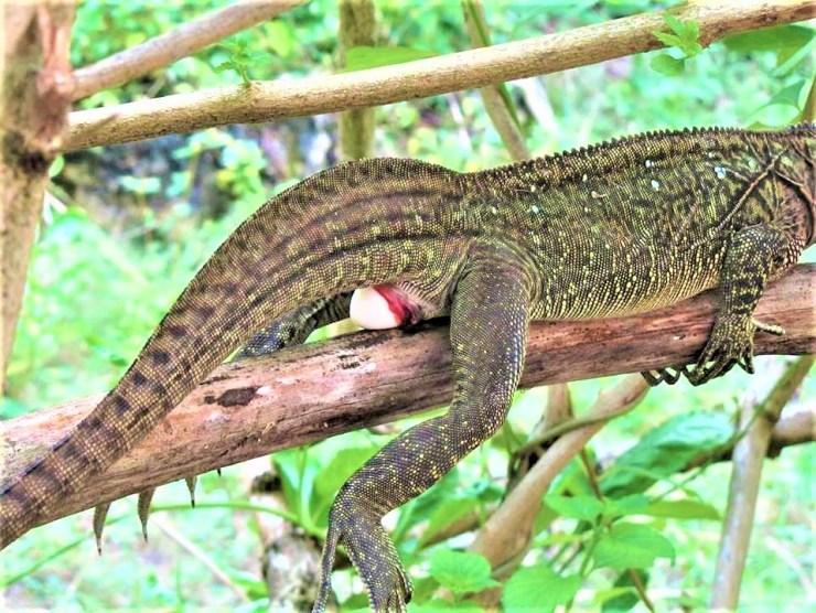 The Philippine sailfin lizard (Hydrosaurus pustulatus) on Siargao island.