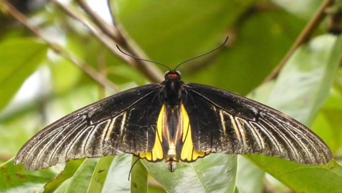 Golden Birdwing Butterfly (Troides rhadamantus)