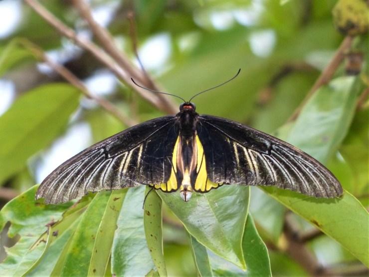 Golden Birdwing Butterfly (Troides rhadamantus)