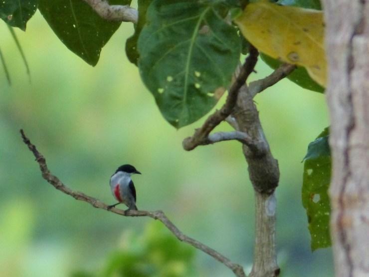 Red-keeled Flowerpecker (Dicaeum australe)