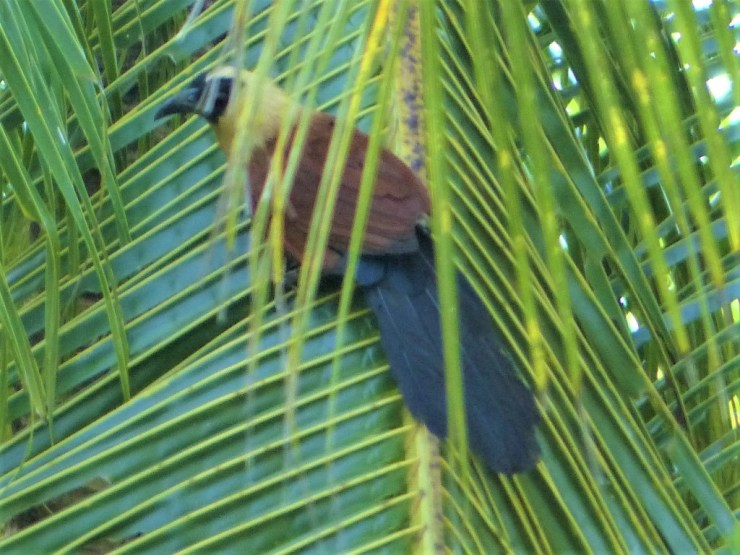 The Black-faced Coucal (Centropus melanops) on Siargao island.