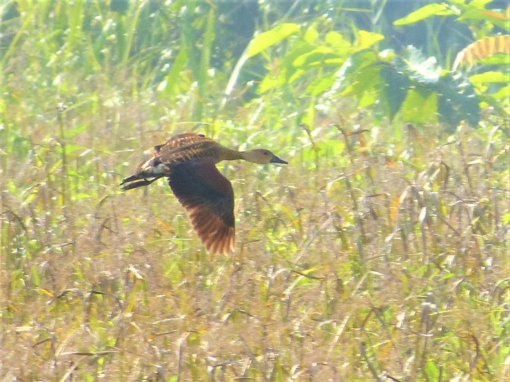 The wandering whistling duck (Dendrocygna arcuata) on Siargao island.
