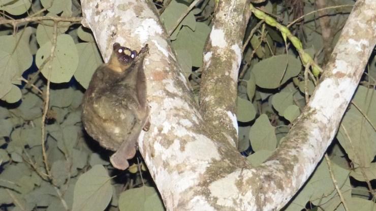 Philippine Flying Lemur (Cynocephalus volans) on Siargao island