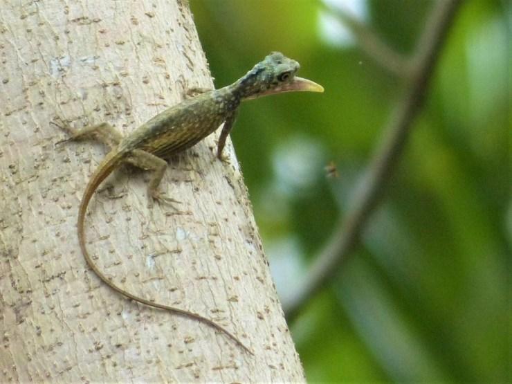 Draco cyanopterus on Siargao island