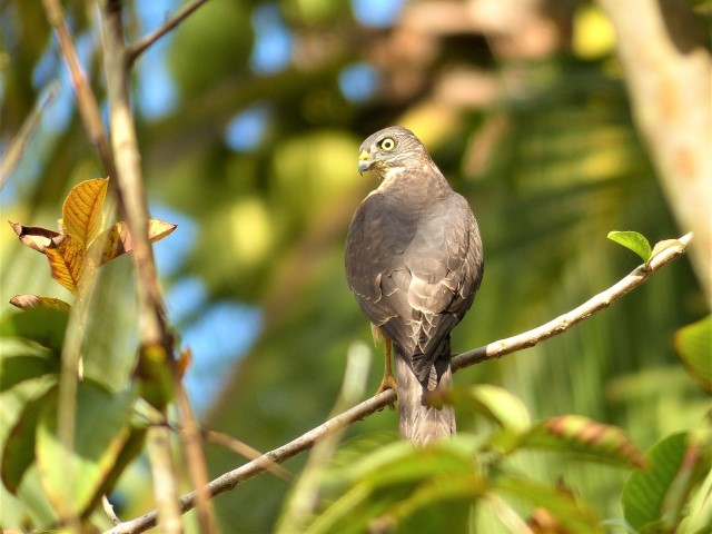 A Migratory Chinese Sparrowhawk (Accipiter soloensis) in our Backyard