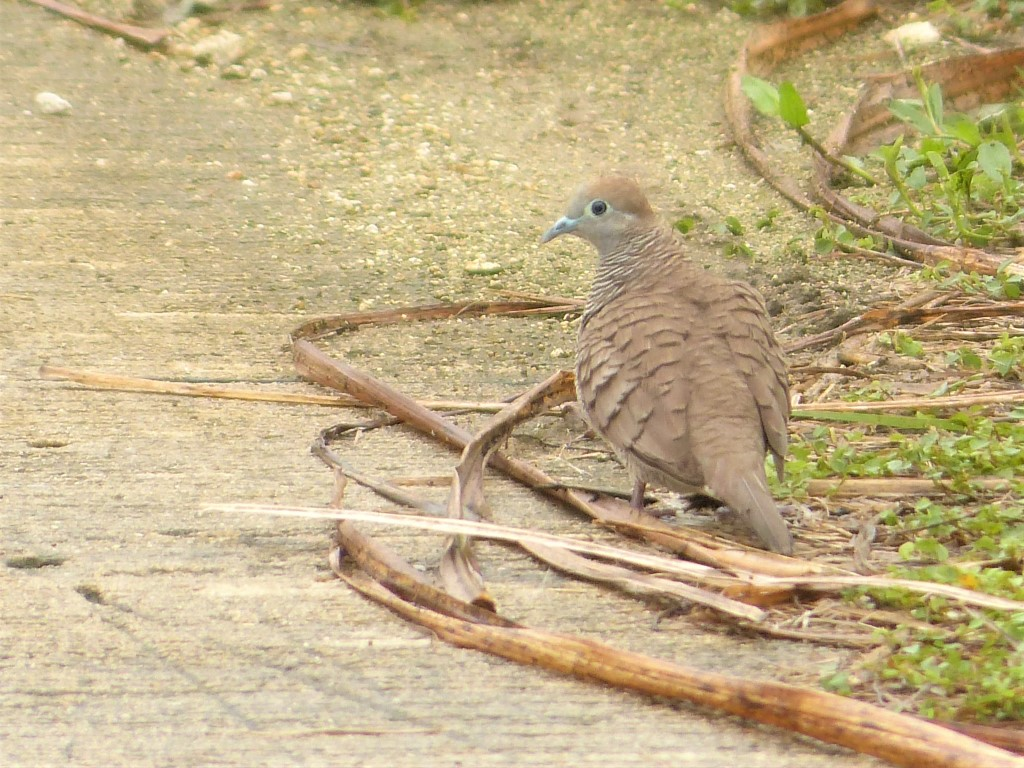 A Zebra Dove (Geopelia striata) Lifer on a Rainy Morning