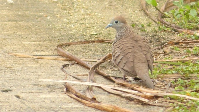 Zebra Dove (Geopelia striata) on Siargao island