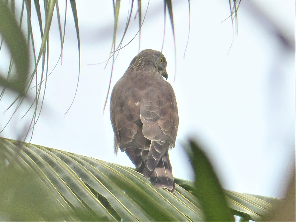 Grey-faced Buzzard (Butastur indicus): First Lifer of 2018!