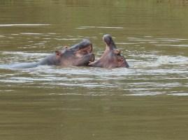 Hippo. Saint Lucia, South Africa. 25.7.2016 (7)