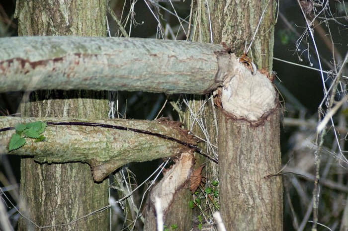 Tree gnawed by beavers on the River Otter