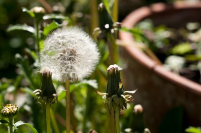 Dandelion clock (plenty of them in my garden!)