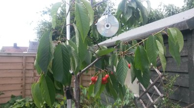 My attempt at stopping magpies stealing my cherries - hanging an old CD from the tree