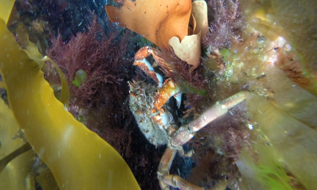 Conwall Spider Crab