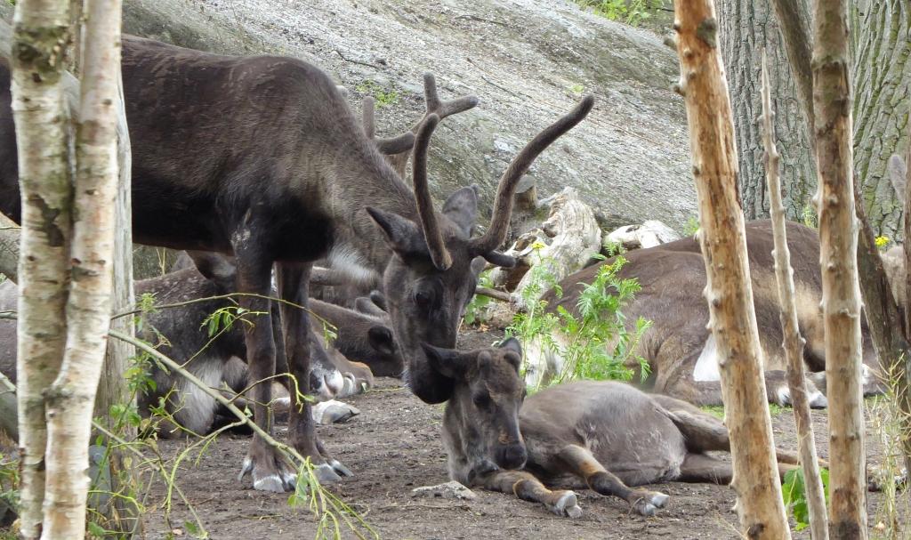 Reindeer Skansen