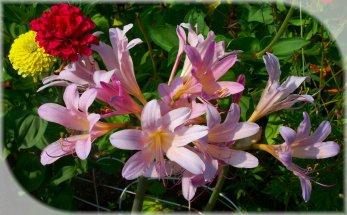 hurricane lilies and zinnias