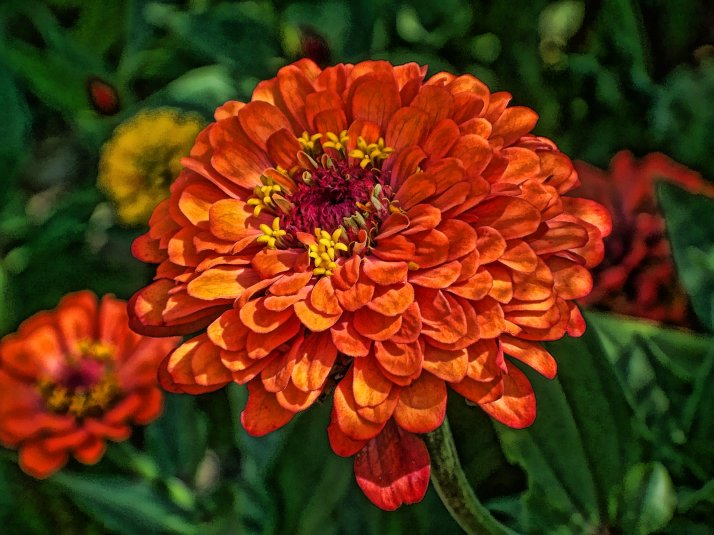 orange fantasy zinnia