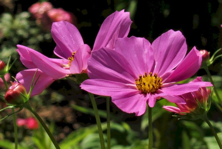 purple cosmos flowers