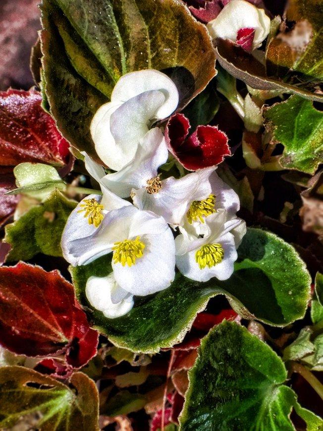 white begonia blooms