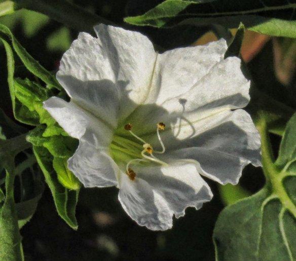 four oclock flower