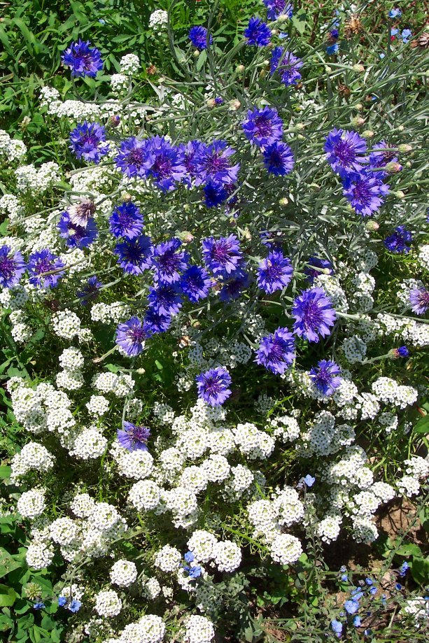 cornflowers_and_alyssum_blue_and_white_tumble