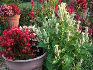 celosias, begonias and marigolds