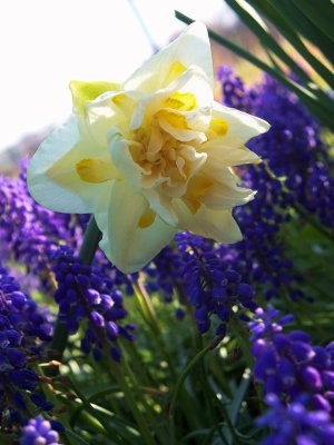 narcissus and grape hyacinth