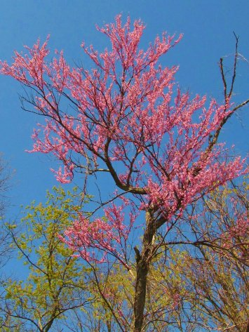 another redbud